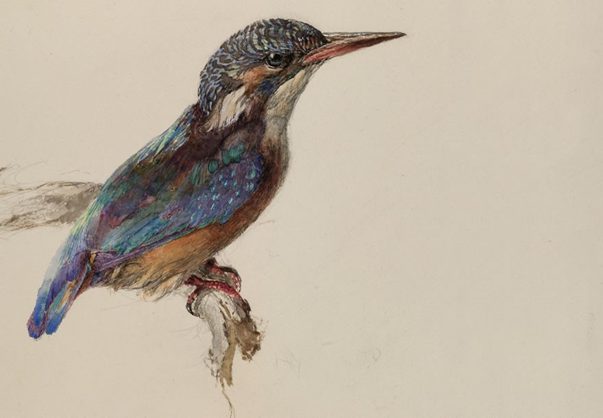Study of a kingfisher