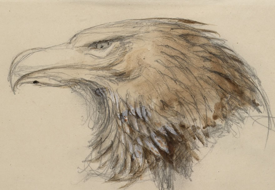 Head of a common Golden Eagle