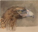 The Head of a common Golden Eagle, from Life (Ruskin, John - The Head of a common Golden Eagle, from Life)