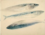Sketch of Mackerel