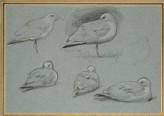 Six Studies of Gulls