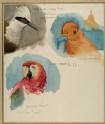 Studies of a White-crested Laughing Thrush, Cock of the Rock, and Scarlet Macaw
